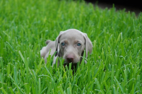 "This is one of our Weims, Ipo (""ee-poe"", it means joy in Hawaiian). She was a couple of months old & swallowed up in the lush grass of a good rain year."